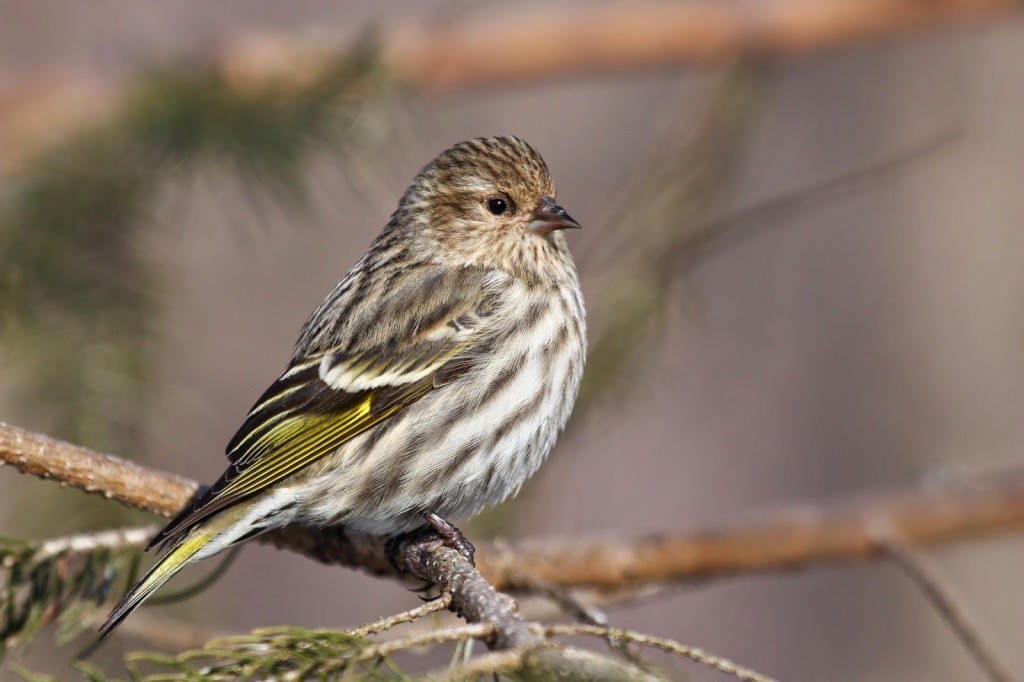 Brown and white streaked bird with yellow streaked wings sitting on an evergreen branch