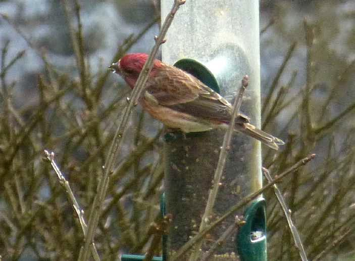 Bird with dark pink head and olive green wings eating seed from a birdfeeder