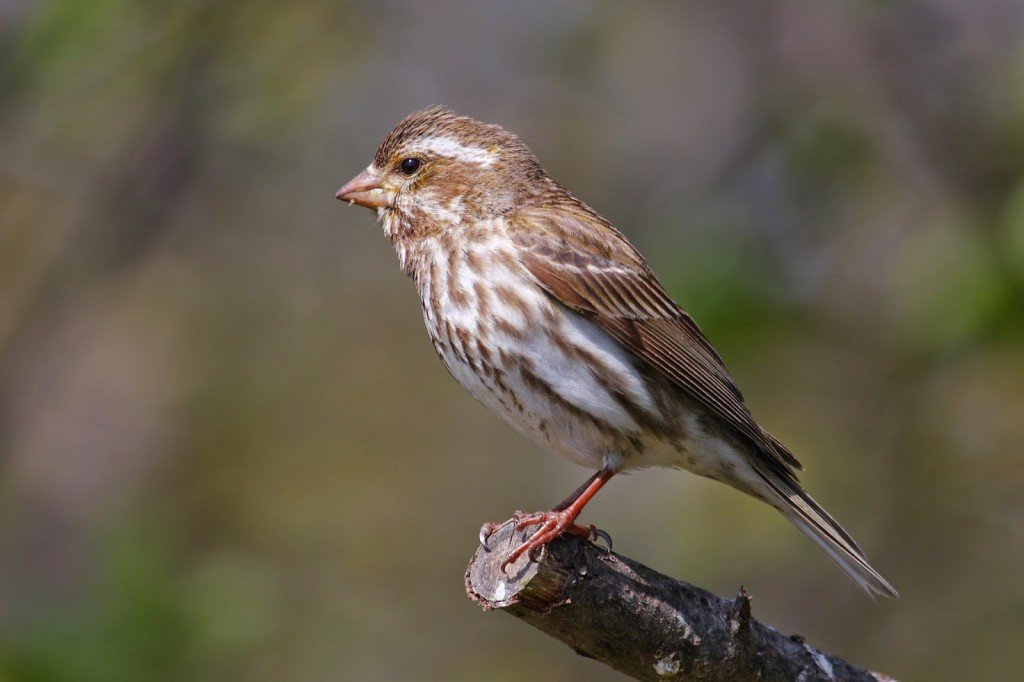 Bird with short beak and brown and white streaked body perched at the end of a branch