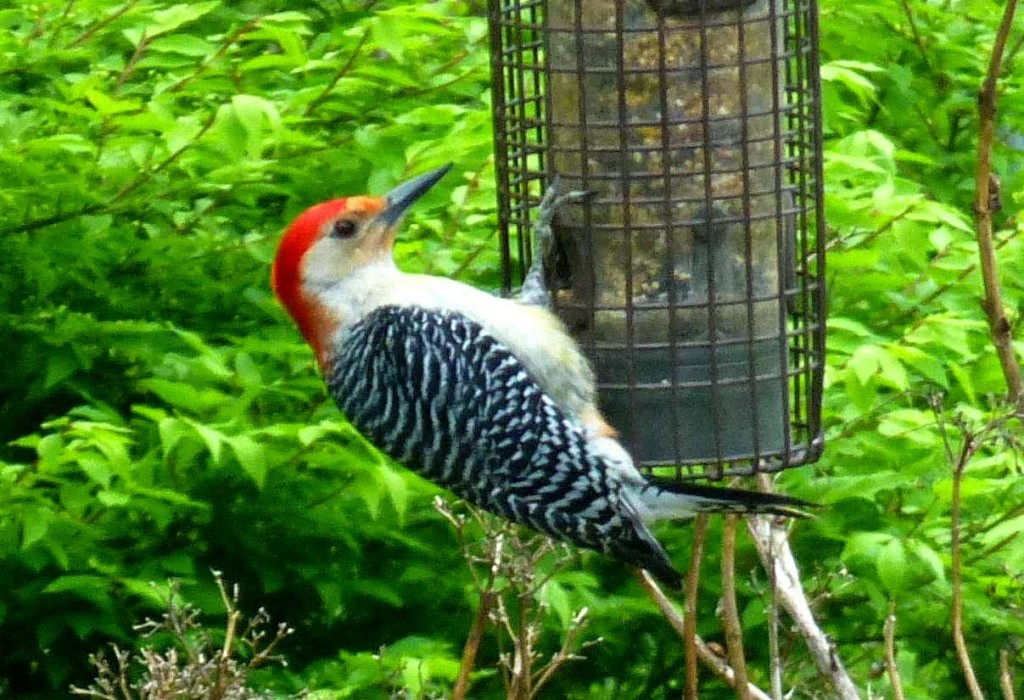 Black and white striped bird with red feathers on its head eating from a caged bird feeder