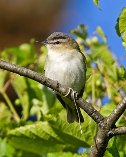 Small bird with white chest and dark gray head perched on a tree branch
