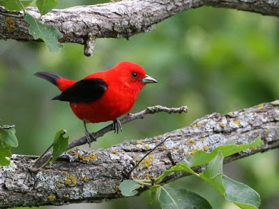 Bright red bird with black wings and tail sitting on a twig of a large tree branch