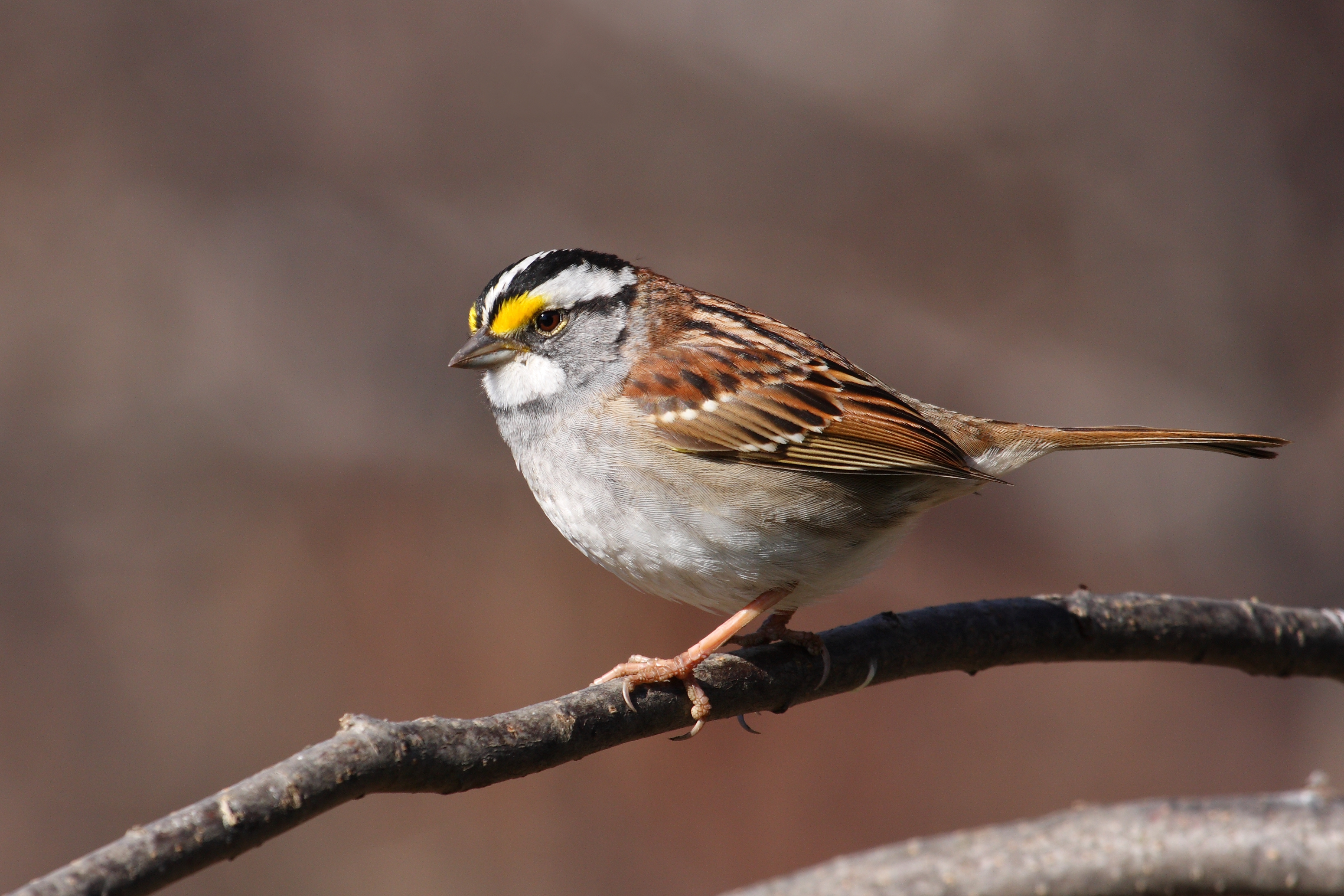 Stout brownish gray bird with a striped head and boldly colored patch between its eye and bill perched on a tree branch