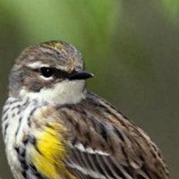 yellow rumped warbler audubon 01